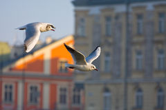 Flying seagull in action Royalty Free Stock Photography