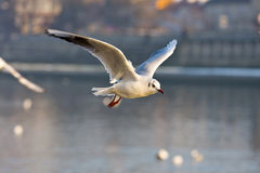Flying seagull in action Stock Photography