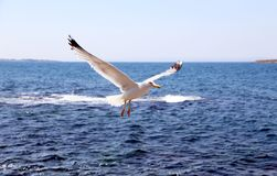 Flying seagull in action on sea. Royalty Free Stock Photos