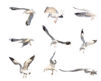 Flying seagull actions isolated on white Stock Photography