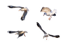 Flying seagull actions isolated on white Royalty Free Stock Photography