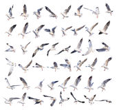 Flying seagull actions isolated on white Royalty Free Stock Photo