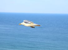 Flying seagull against the blue sea. Close-up Stock Photo