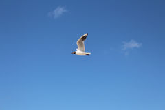 Flying seagull Royalty Free Stock Image