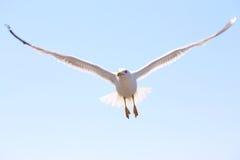 Flying seagull against the blue sky Stock Photos