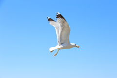 Flying seagull against the blue sky. Royalty Free Stock Photography
