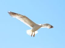 Flying seagull against the blue sky. Close-up. Royalty Free Stock Photo
