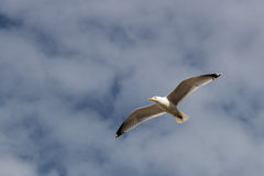 Flying seagull against blue and white, cloudy sky stock images