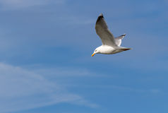 Flying seagull against the mostly blue sky stock photography