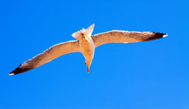 Flying seagull Stock Images