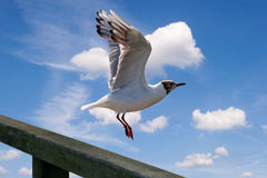 Flying seagull against thesky Royalty Free Stock Photos