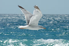 Flying seagull on the background of the sea Royalty Free Stock Photo