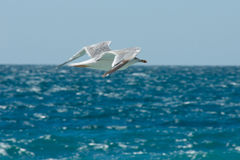Flying seagull on the background of the sea Stock Image