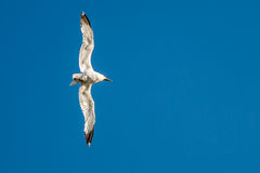Flying Seagull -- Bank Left!. This shot is upright...the gull was in a 90 degree bank left turn looking back at the sun Royalty Free Stock Photos
