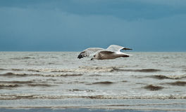 Flying seagull on the beach of Blackpool, view to wet beach and. Ocean Stock Image