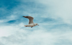 Flying seagull on the beach of Blackpool, view to wet beach and. Ocean Royalty Free Stock Image