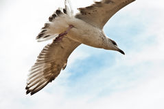 Flying seagull on the beach of Blackpool, view to wet beach and. Ocean Stock Photos