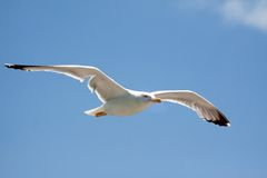 Flying seagull bird Royalty Free Stock Image