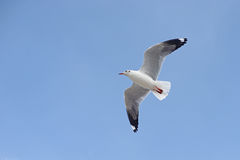 Free Flying Seagull Bird Stock Photography - 79550802