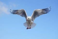 Flying seagull bird Royalty Free Stock Image