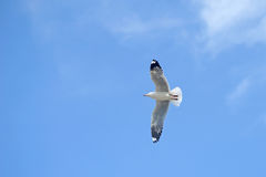 Flying seagull bird stock image