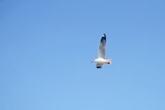 Flying seagull bird royalty free stock photo