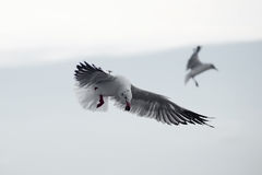 Flying seagull bird royalty free stock images