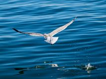 Flying seagull bird over blue water royalty free stock photography