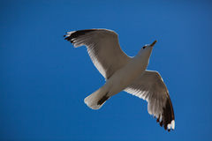 Flying Seagull in a Blue Sky Royalty Free Stock Photos