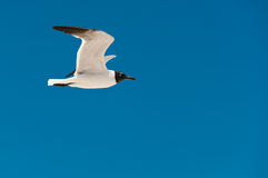 Flying seagull and the blue sky. Seagull flying free with blue sky for background in Progreso Mexico Stock Image