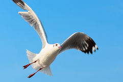 Flying seagull on the blue sky Stock Images