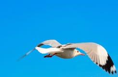 Flying seagull on the blue sky. THAILAND stock photos