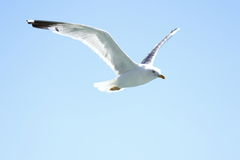A flying seagull Royalty Free Stock Photography
