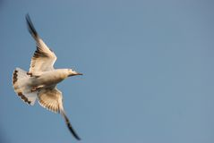 Flying seagull in blue sky at Bangpu stock image