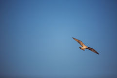 Flying seagull in the blue sky Royalty Free Stock Photos