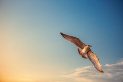 Flying seagull in the blue sky Stock Image