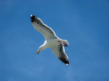 Flying seagull and blue sky Stock Image