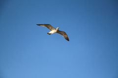 Flying seagull in blue sky. Royalty Free Stock Photo