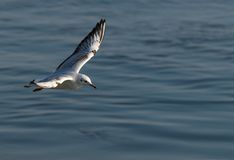 Flying seagull on blurred water background. Seagull flies over Danube river in a sunny day.Blurred background Royalty Free Stock Photos