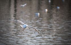 Flying Seagull. Captured on the lake Stock Photography