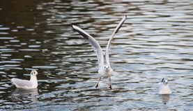 Flying Seagull. Captured on the lake Royalty Free Stock Image