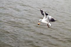 Flying seagull catches bread on the fly. Seagull catches bread on the fly stock photography
