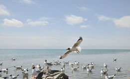 Flying seagull. 2014.4.23 on china flying seagull Royalty Free Stock Photo