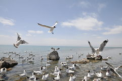 Flying seagull. 2014.4.23 on china flying seagull Royalty Free Stock Image