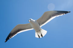 Flying seagull. On a clear blue sky Royalty Free Stock Photos