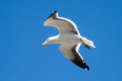 Flying seagull. On a clear blue sky Stock Photo