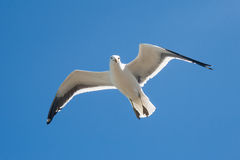 Flying seagull. On a clear blue sky Stock Images