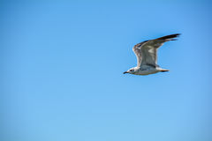Flying seagull in the clear blue sky Stock Images