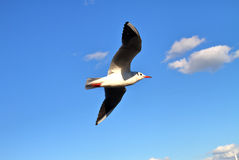 Flying seagull. The closeup of a flying seagull with blue sky background Stock Image