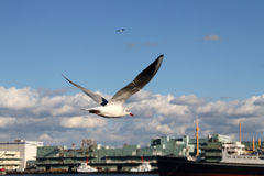 Flying seagull. The closeup of a flying seagull with ship and building background Royalty Free Stock Photos